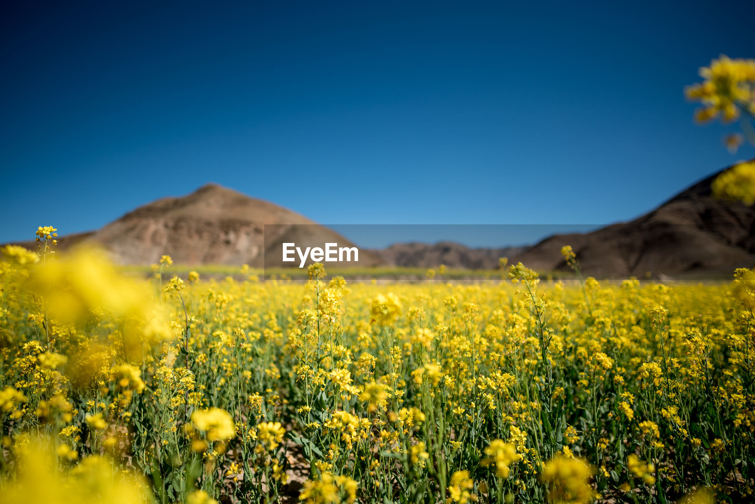 SCENIC VIEW OF YELLOW FLOWERING PLANTS AGAINST CLEAR SKY