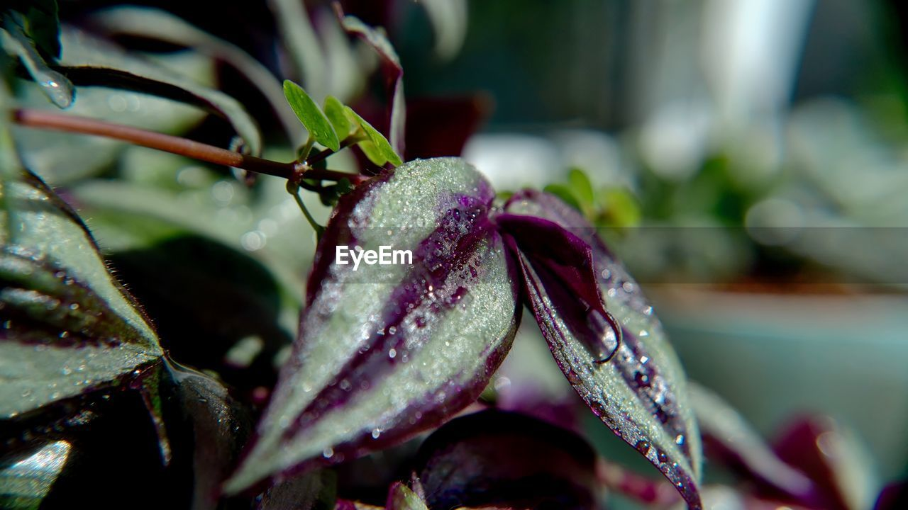 close-up, plant, growth, drop, beauty in nature, plant part, leaf, water, no people, nature, freshness, wet, focus on foreground, flower, selective focus, day, fragility, vulnerability, flowering plant, purple, rain, raindrop, dew, flower head, purity, leaves