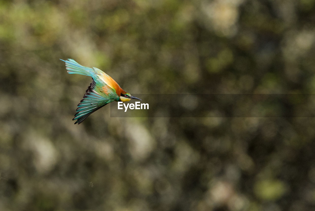 animal themes, bird, animals in the wild, animal, animal wildlife, vertebrate, one animal, flying, spread wings, mid-air, day, focus on foreground, no people, nature, kingfisher, beauty in nature, parrot, outdoors, tree, motion