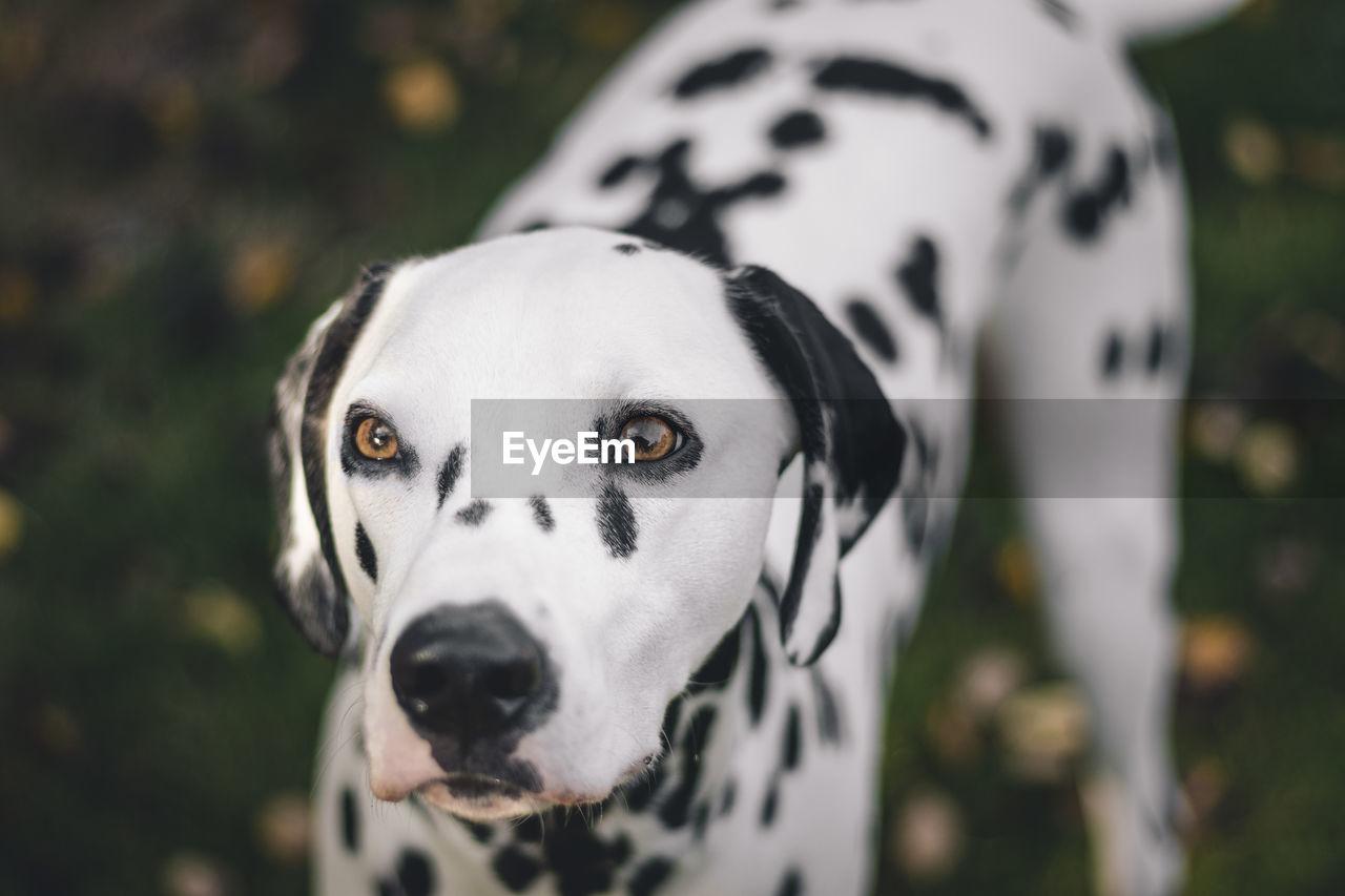 Close-Up Alert Of Dalmatian Dog