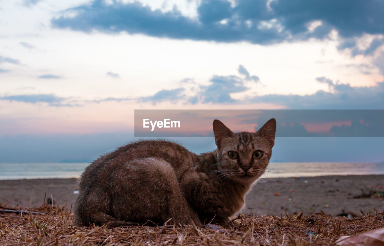 Portrait Of Cat Resting At Beach During Sunset