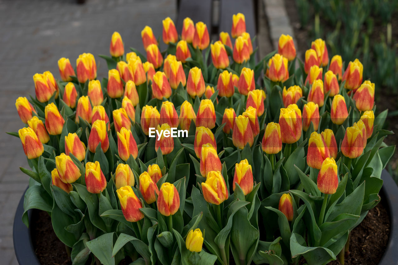 flowering plant, flower, beauty in nature, plant, vulnerability, fragility, freshness, petal, growth, close-up, flower head, yellow, inflorescence, nature, tulip, no people, plant part, day, leaf, botany, springtime, outdoors, flowerbed, bunch of flowers, gazania