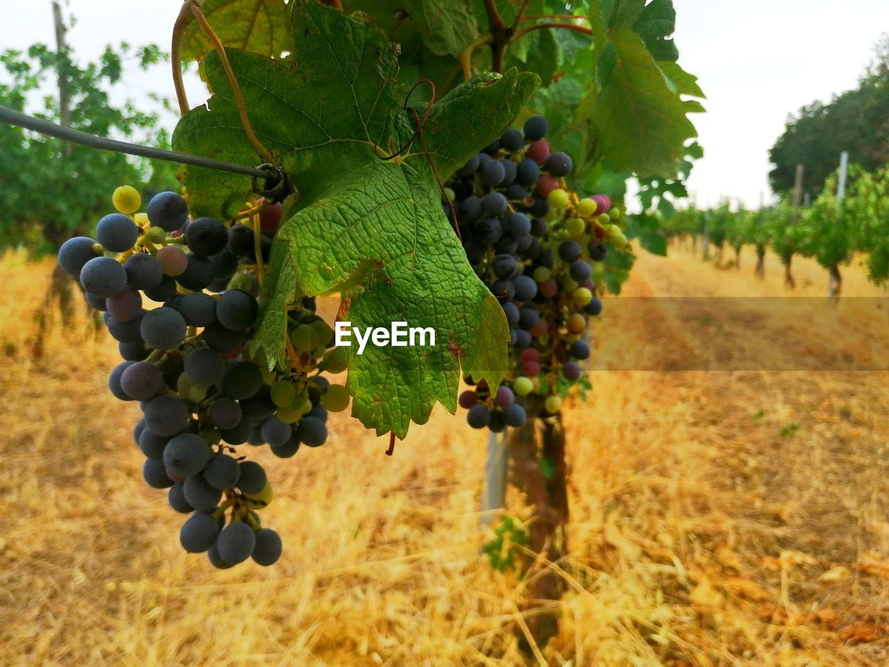 fruit, healthy eating, food, food and drink, growth, vineyard, grape, plant, agriculture, nature, wellbeing, freshness, day, vine, winemaking, field, bunch, no people, leaf, landscape, outdoors, ripe, plantation