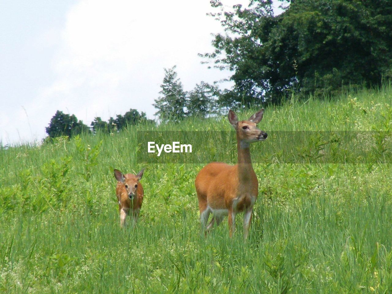 grass, animals in the wild, deer, animal themes, nature, animal wildlife, field, mammal, day, young animal, tree, outdoors, no people, standing, sky, beauty in nature