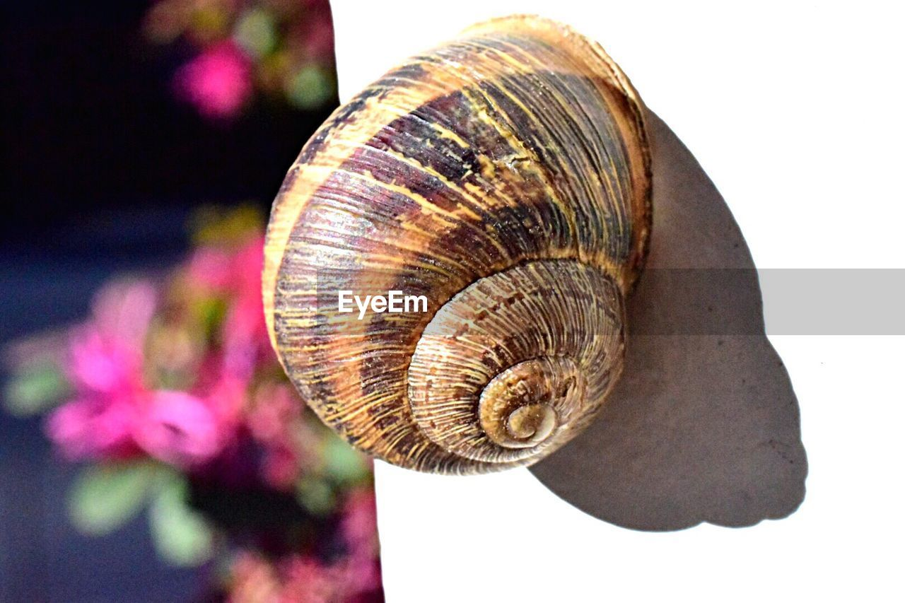 snail, animal shell, close-up, gastropod, one animal, nature, spiral, fragility, animal themes, no people, animals in the wild, day, outdoors