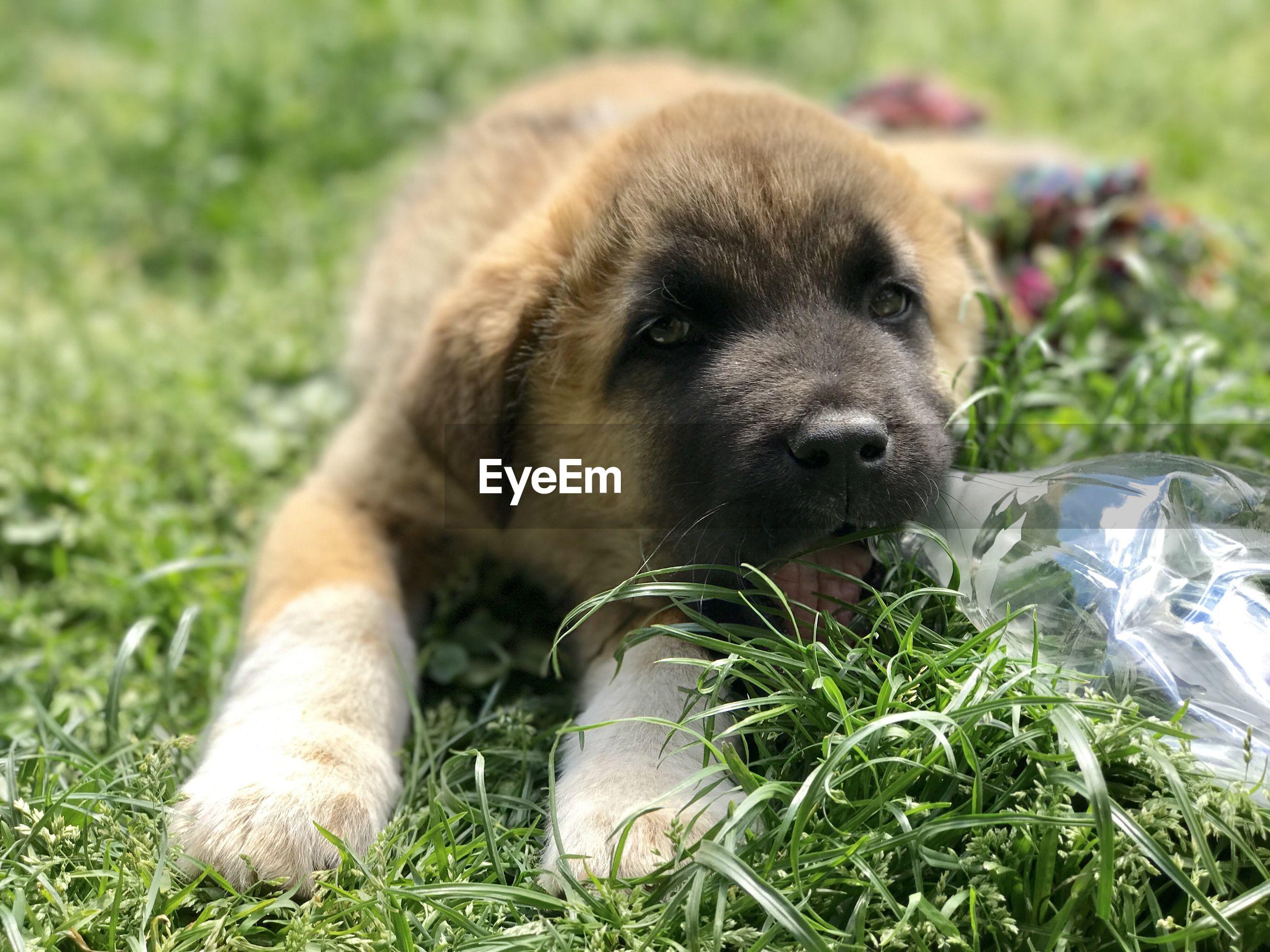 Portrait of puppy on field