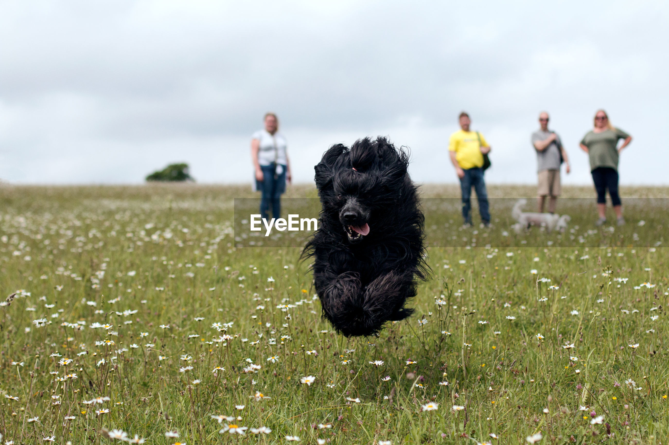 Portrait of portuguese water dog running on field against sky
