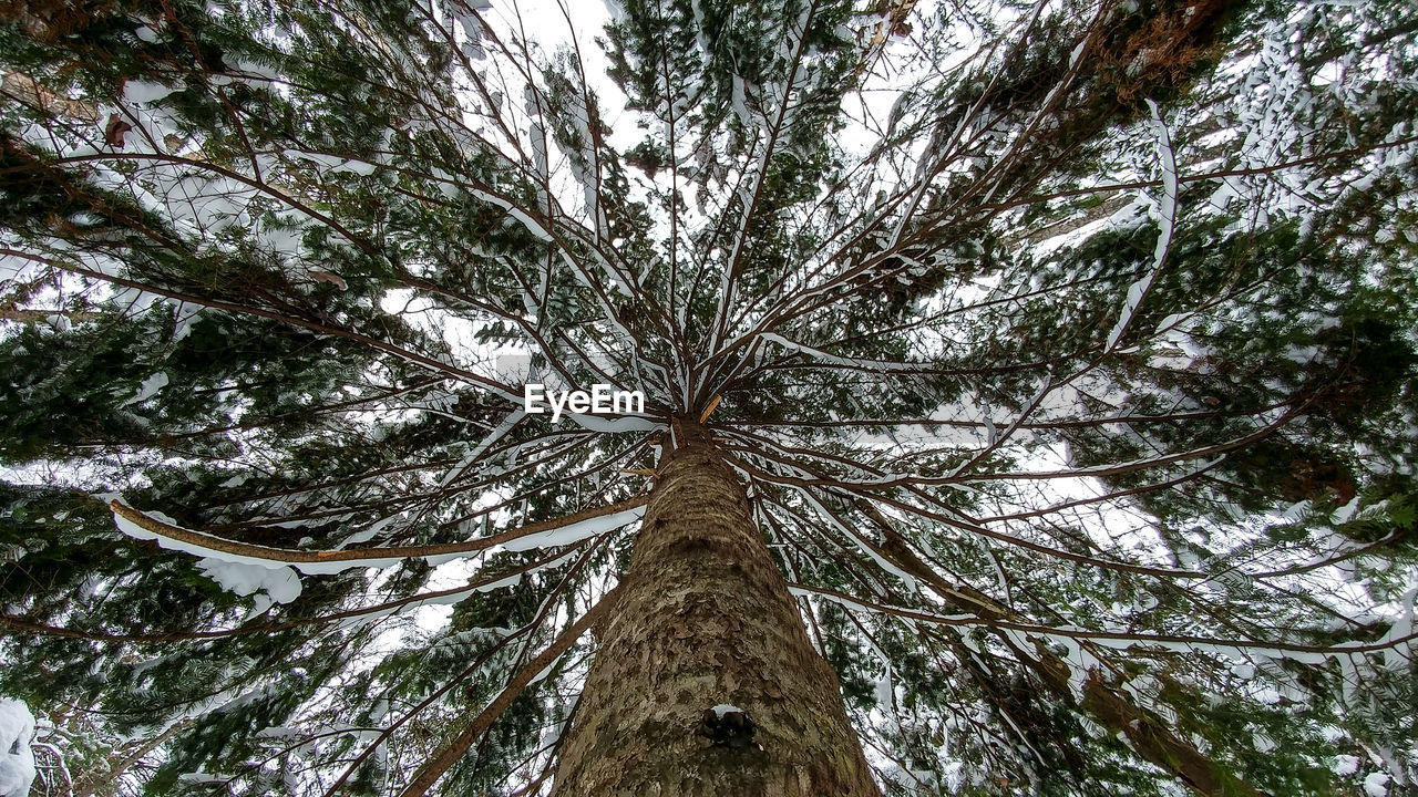 tree, plant, tree trunk, trunk, low angle view, growth, nature, beauty in nature, no people, land, tranquility, branch, forest, tall - high, tree canopy, directly below, day, outdoors, scenics - nature, woodland, bark, coniferous tree