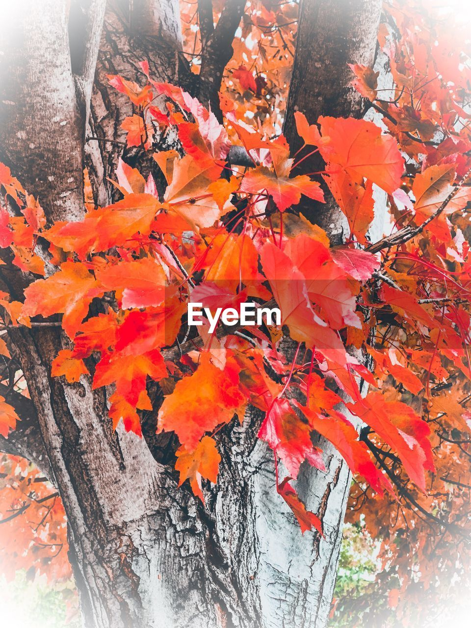 orange color, autumn, beauty in nature, nature, plant part, change, plant, close-up, day, no people, tree, leaf, outdoors, growth, branch, maple leaf, maple tree, tree trunk, trunk, leaves, natural condition, orange