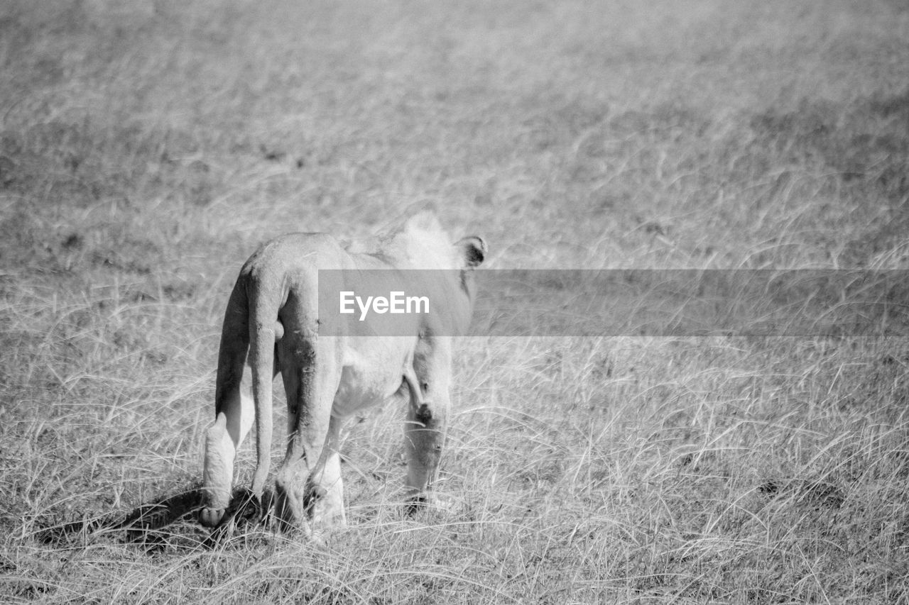 mammal, animal themes, one animal, field, grass, day, outdoors, no people, animals in the wild, nature, full length