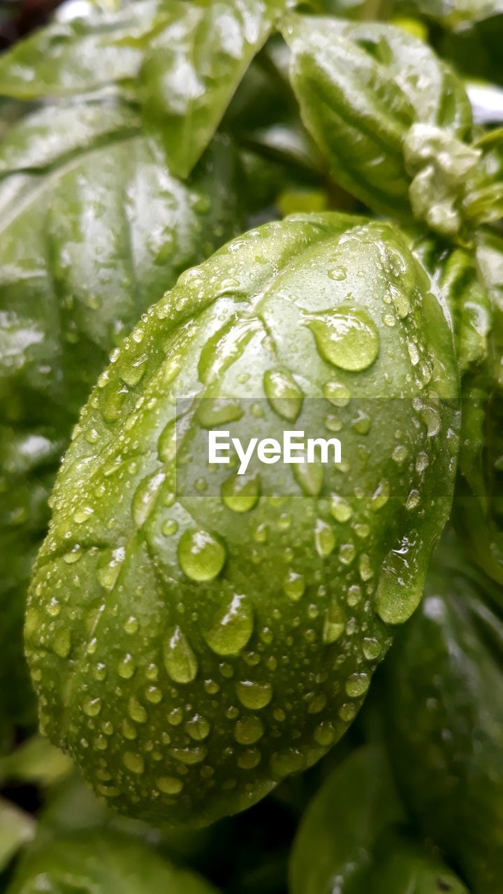 close-up, green color, water, drop, wet, freshness, growth, no people, beauty in nature, plant, nature, leaf, day, plant part, focus on foreground, outdoors, vulnerability, food and drink, fragility, dew, raindrop, purity