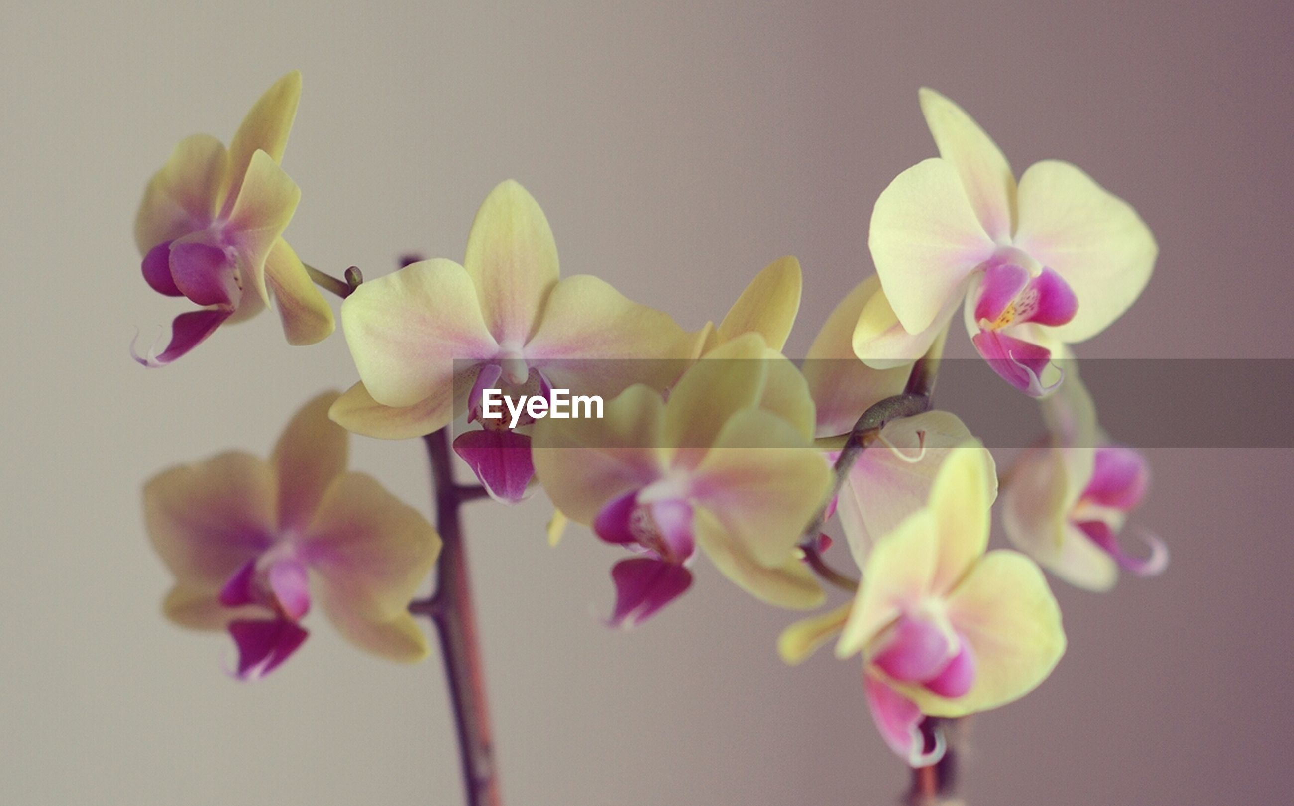 flower, petal, freshness, fragility, flower head, beauty in nature, close-up, orchid, nature, growth, indoors, pink color, stem, focus on foreground, blooming, blossom, bud, no people, white color, selective focus