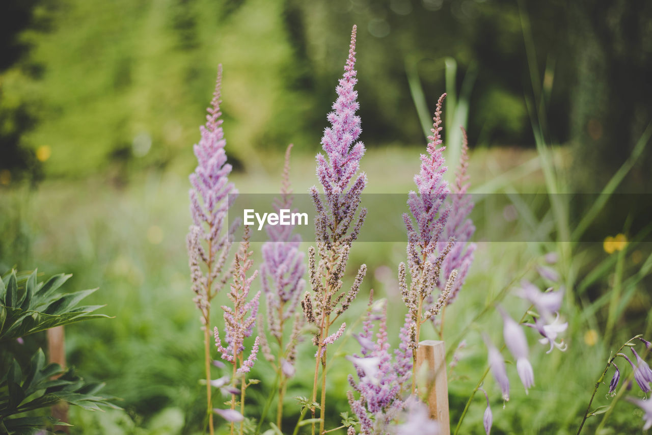 Close-Up Of Lavender Blooming On Field