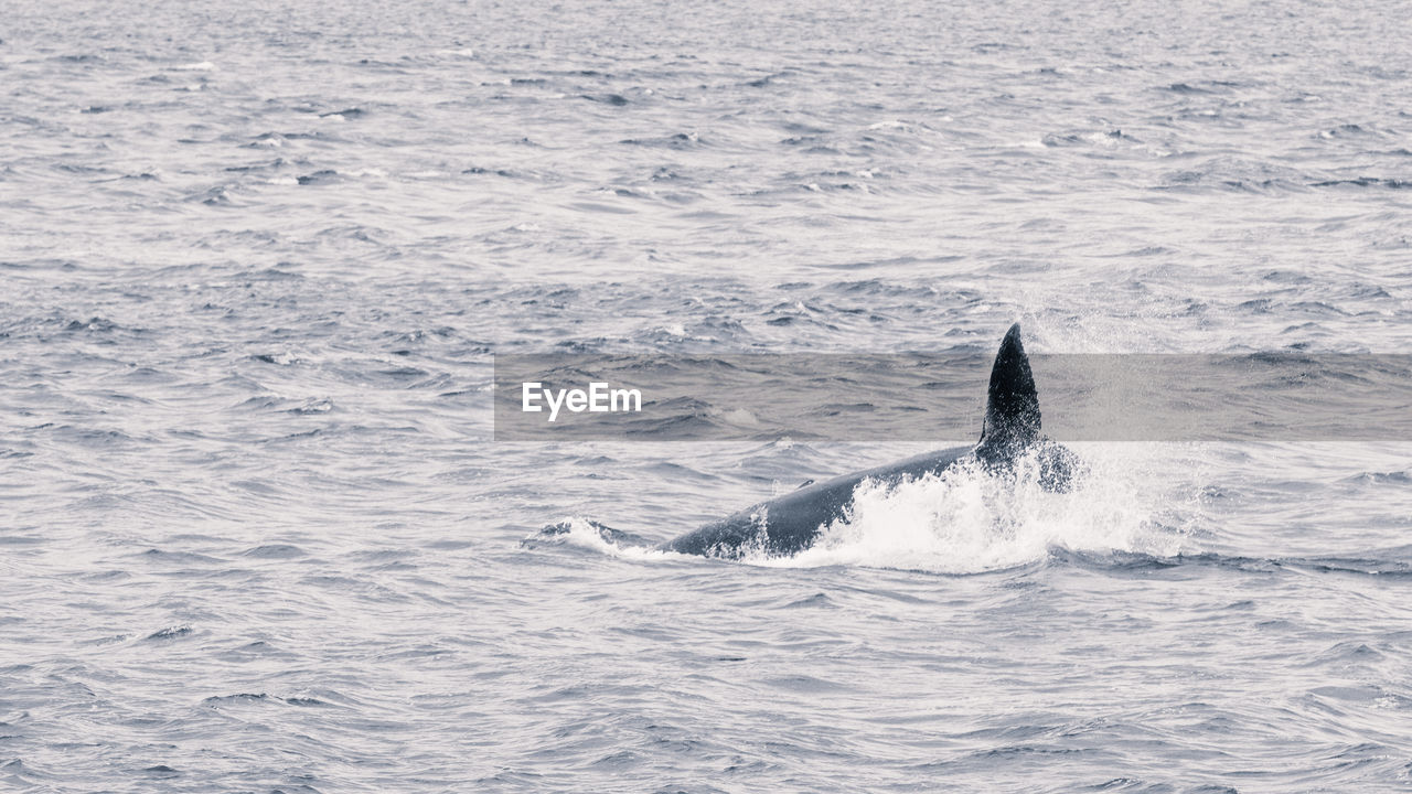 sea, animal themes, animal, one animal, mammal, animals in the wild, animal wildlife, aquatic mammal, water, whale, underwater, swimming, no people, sea life, marine, vertebrate, animal body part, nature, day, outdoors, humpback whale, tail fin