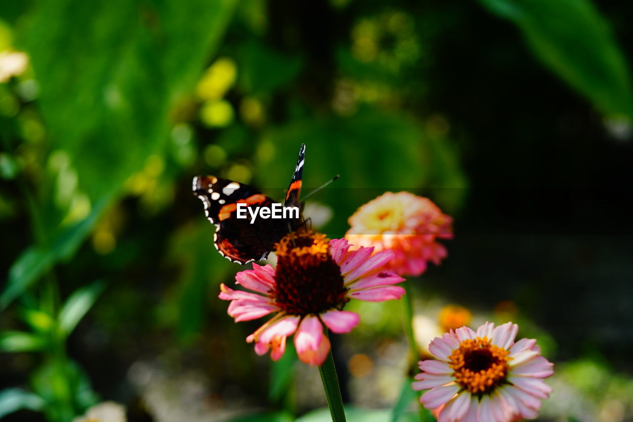 flower, flowering plant, beauty in nature, freshness, plant, insect, flower head, invertebrate, animal themes, fragility, animal, animal wildlife, vulnerability, petal, growth, animals in the wild, one animal, inflorescence, close-up, nature, butterfly - insect, animal wing, no people, pollination, pink color, outdoors, pollen, butterfly