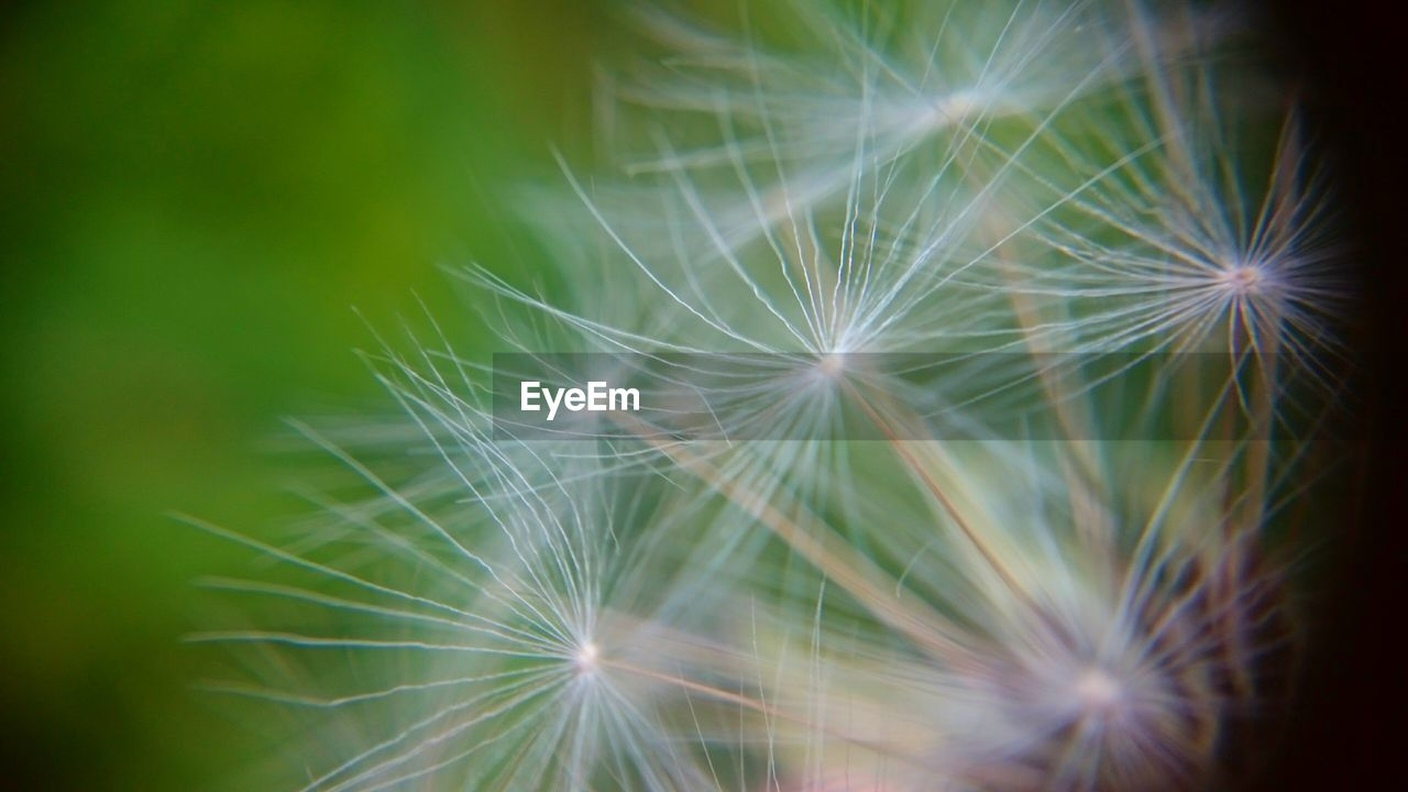 dandelion, dandelion seed, fragility, flower, freshness, softness, nature, beauty in nature, close-up, selective focus, growth, no people, outdoors, flower head, soft focus, day