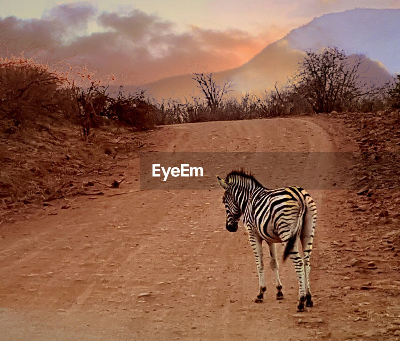 animals in the wild, animal themes, one animal, striped, mammal, zebra, outdoors, nature, standing, animal wildlife, day, no people, tree, sky, full length
