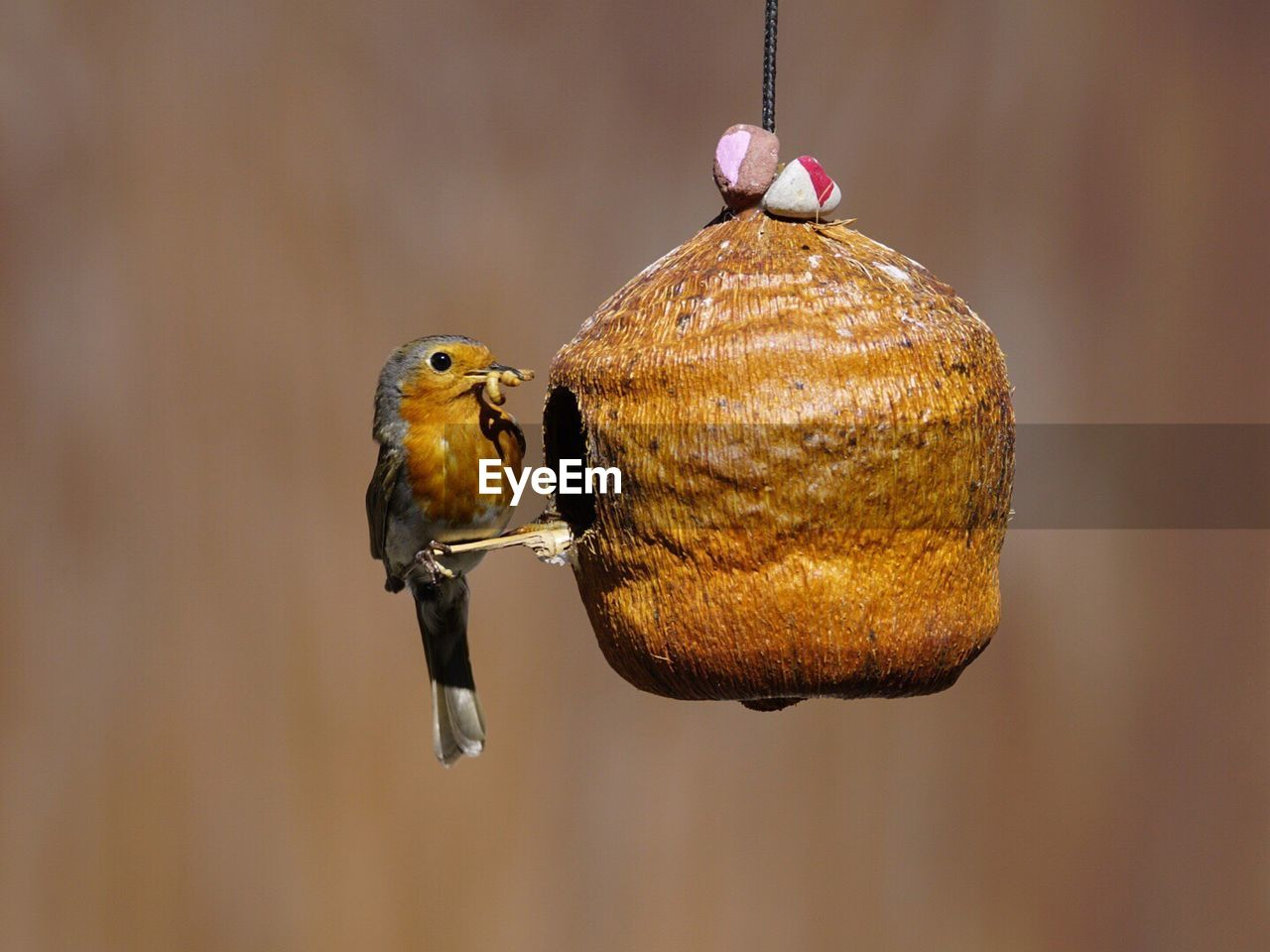 Robin Carrying Worm In Beak On Feeder