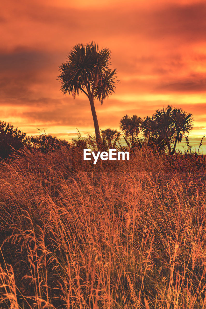 sunset, sky, plant, beauty in nature, scenics - nature, tree, tranquility, tranquil scene, cloud - sky, growth, orange color, nature, land, no people, non-urban scene, field, tropical climate, landscape, palm tree, environment, outdoors, romantic sky