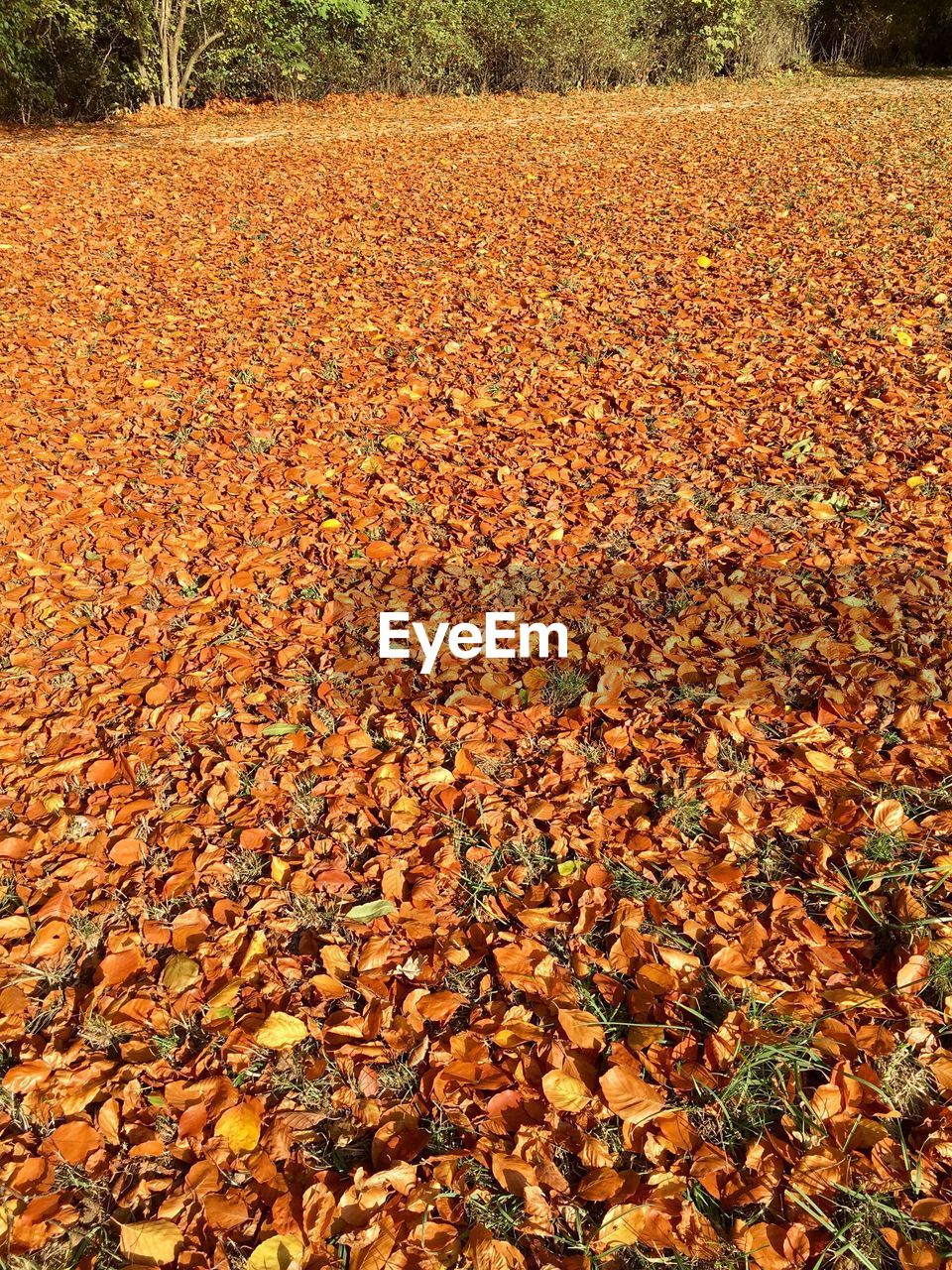 autumn, change, leaf, nature, dry, beauty in nature, leaves, field, orange color, day, tranquility, outdoors, abundance, fallen, scenics, no people, tree, landscape, maple