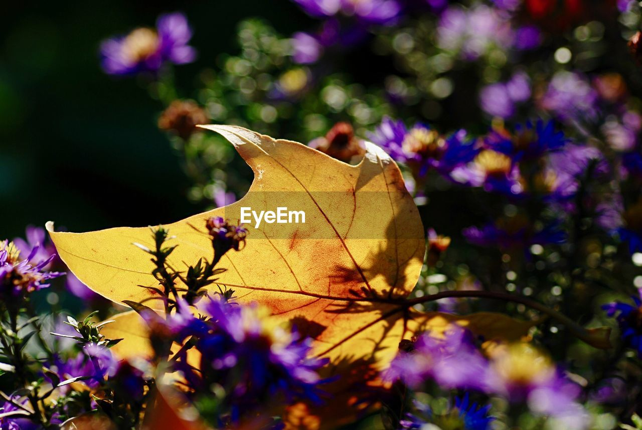 plant, vulnerability, plant part, leaf, fragility, flower, close-up, beauty in nature, flowering plant, autumn, no people, focus on foreground, freshness, nature, dry, selective focus, day, growth, change, petal, outdoors, flower head, purple, leaves, natural condition