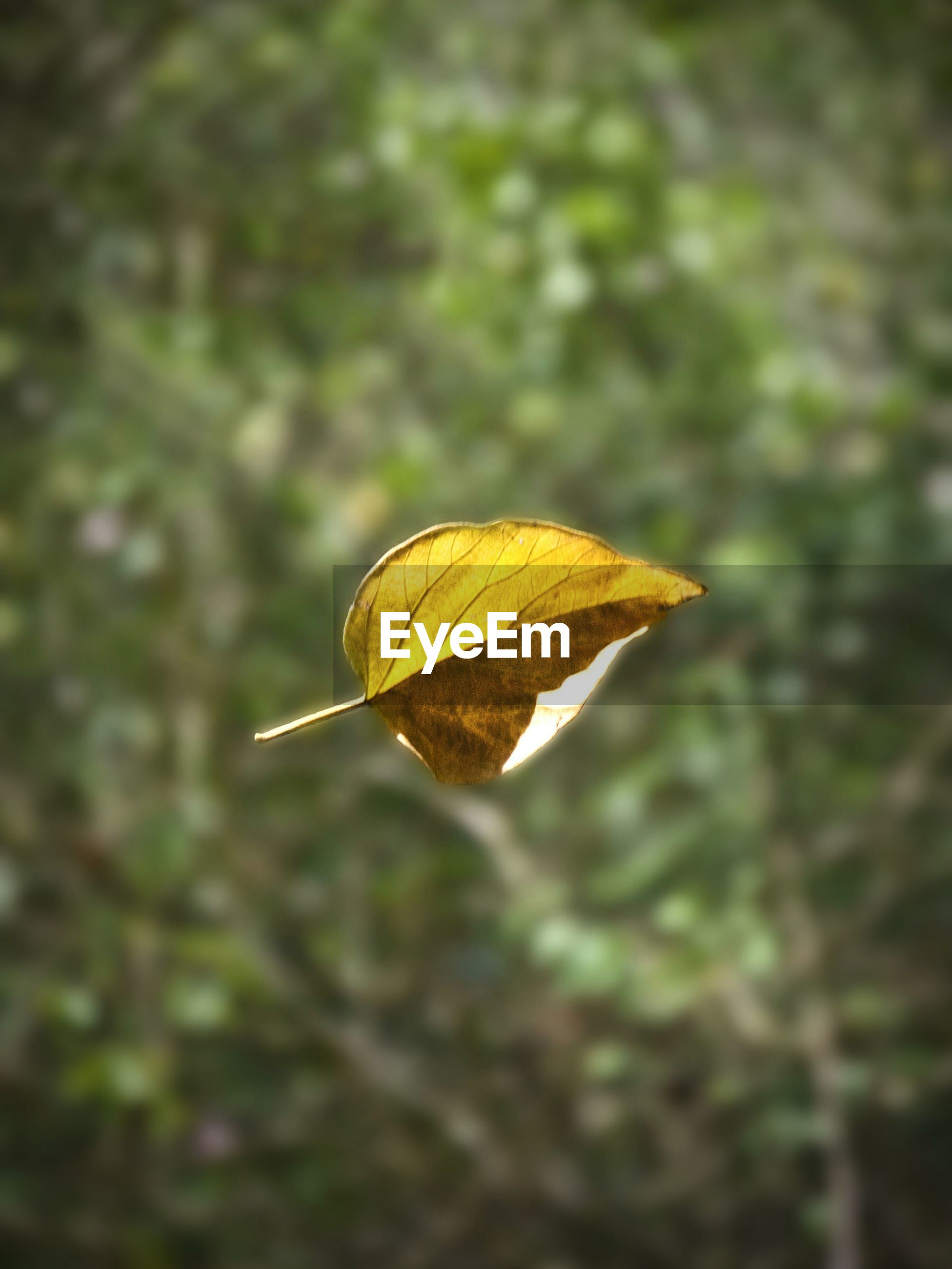 Dry leaf in mid-air during autumn