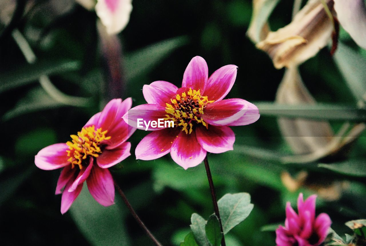 flower, petal, flower head, fragility, nature, beauty in nature, freshness, growth, plant, blooming, pink color, no people, day, close-up, outdoors, zinnia, animal themes