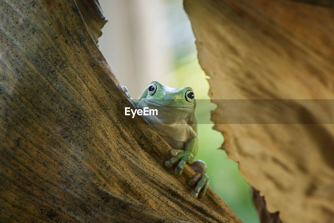 Close-Up Portrait Of Frog On Dry Leaf