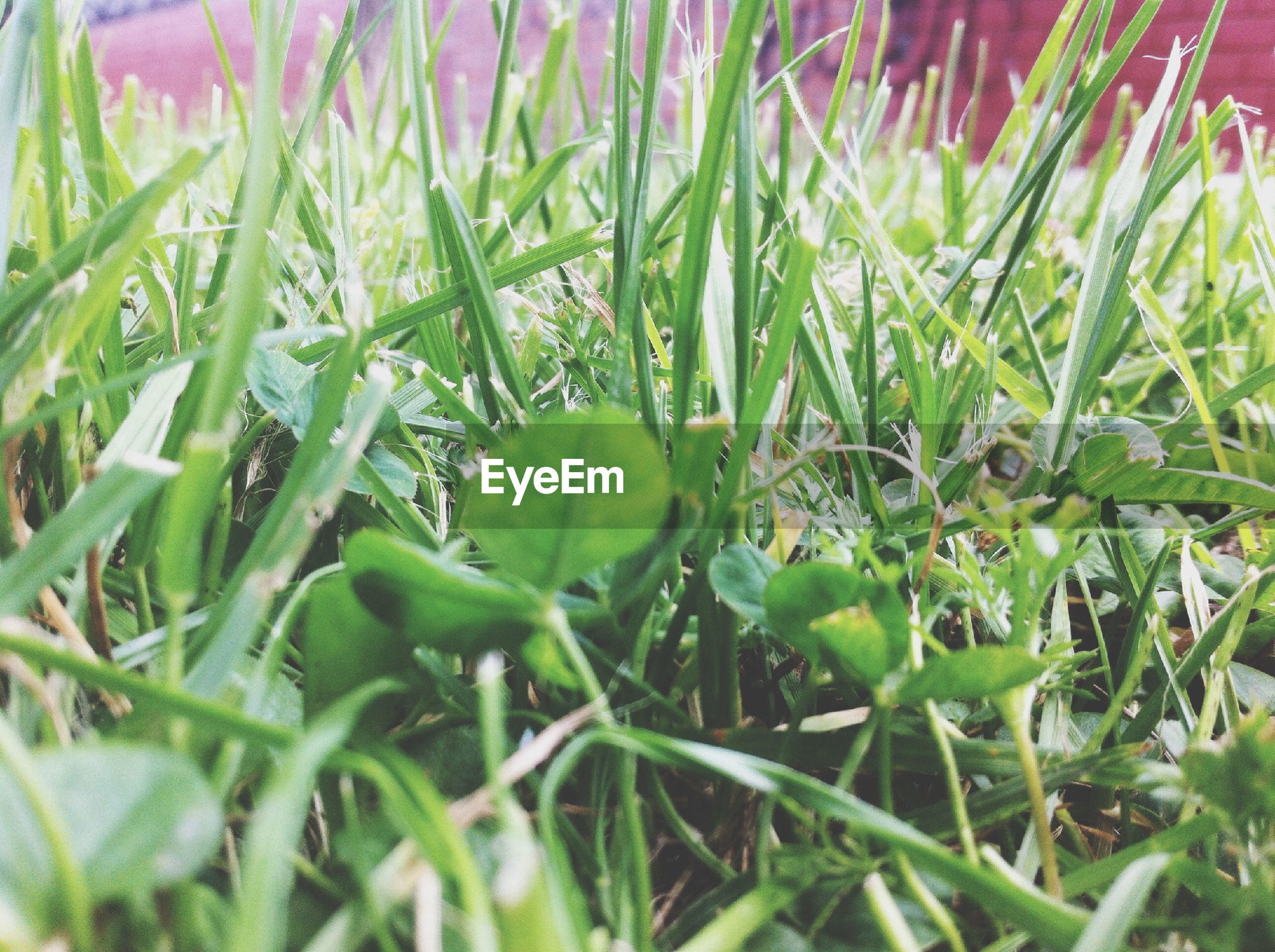 growth, green color, plant, leaf, nature, freshness, field, beauty in nature, grass, close-up, selective focus, green, growing, day, no people, outdoors, blade of grass, tranquility, lush foliage, focus on foreground