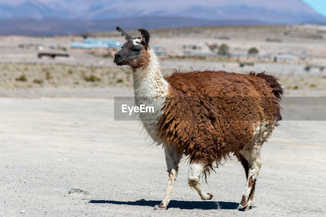 Side View Of Llama On Remote Landscape
