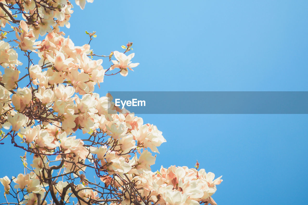 flower, flowering plant, fragility, plant, vulnerability, freshness, growth, sky, low angle view, beauty in nature, petal, nature, clear sky, copy space, tree, no people, springtime, blue, day, blossom, flower head, cherry blossom, outdoors, pollination, cherry tree