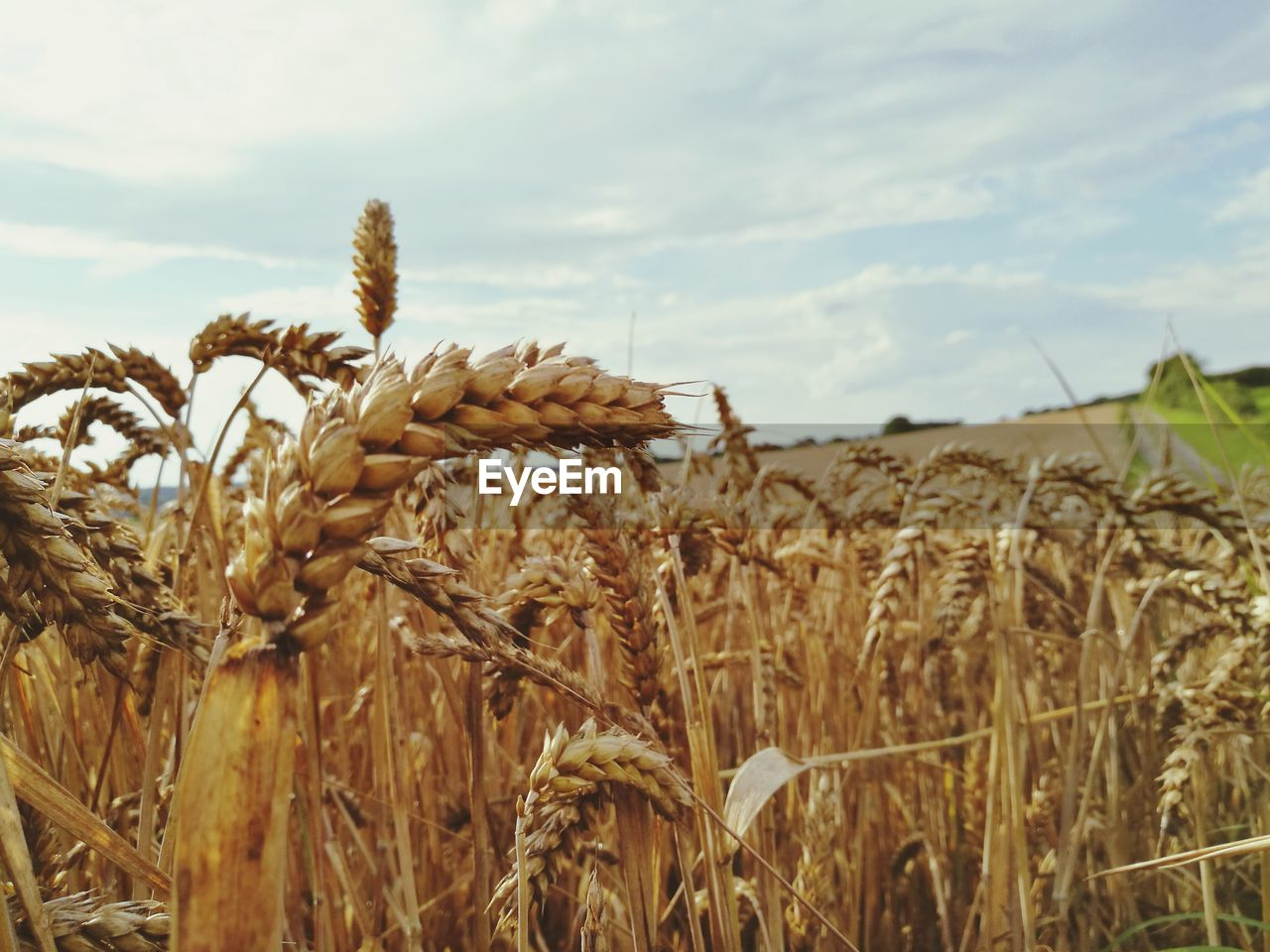crop, growth, agriculture, cereal plant, field, nature, farm, wheat, tranquility, plant, rural scene, tranquil scene, day, sky, no people, outdoors, ear of wheat, beauty in nature, scenics, close-up