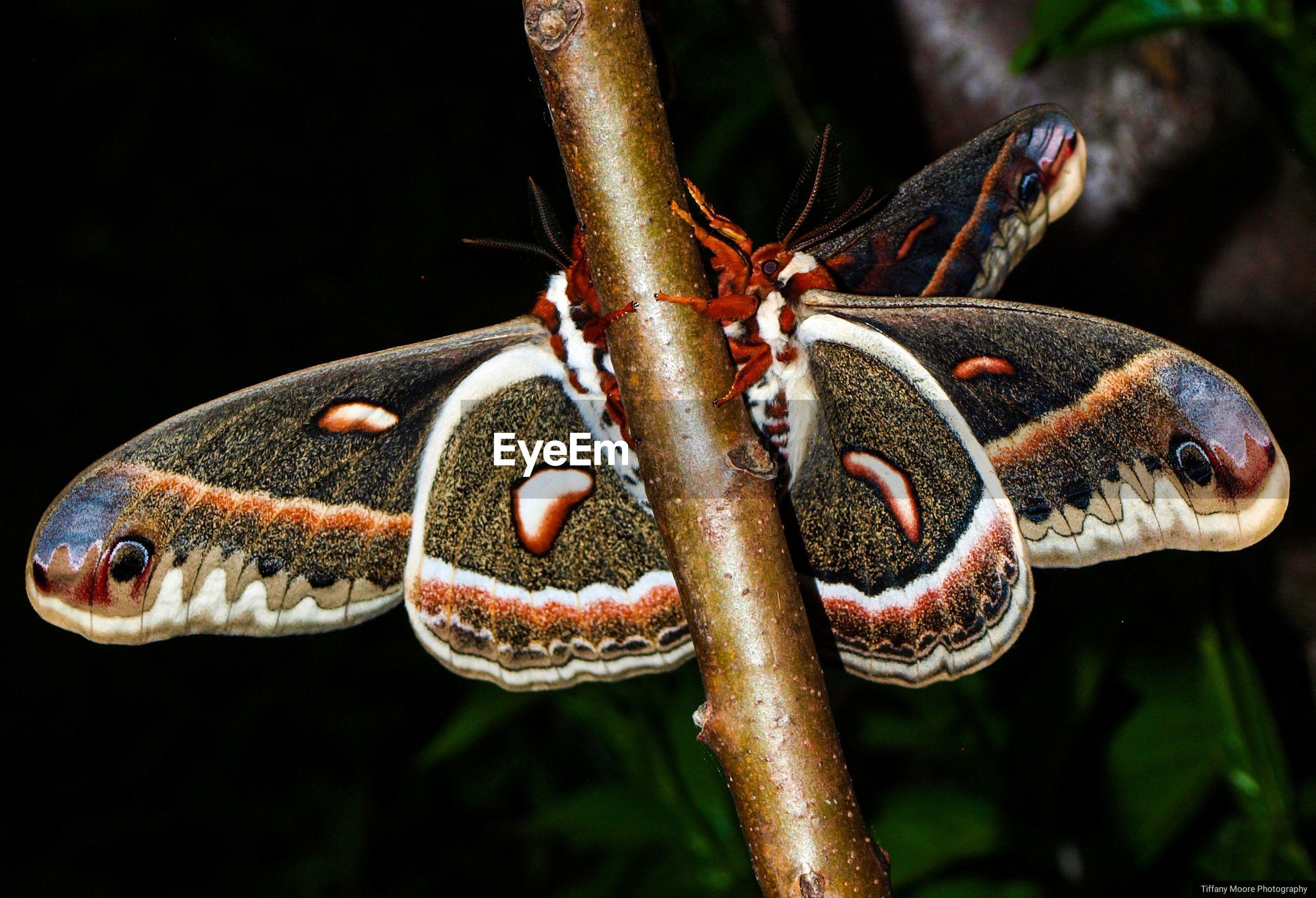 Mating cecropia's