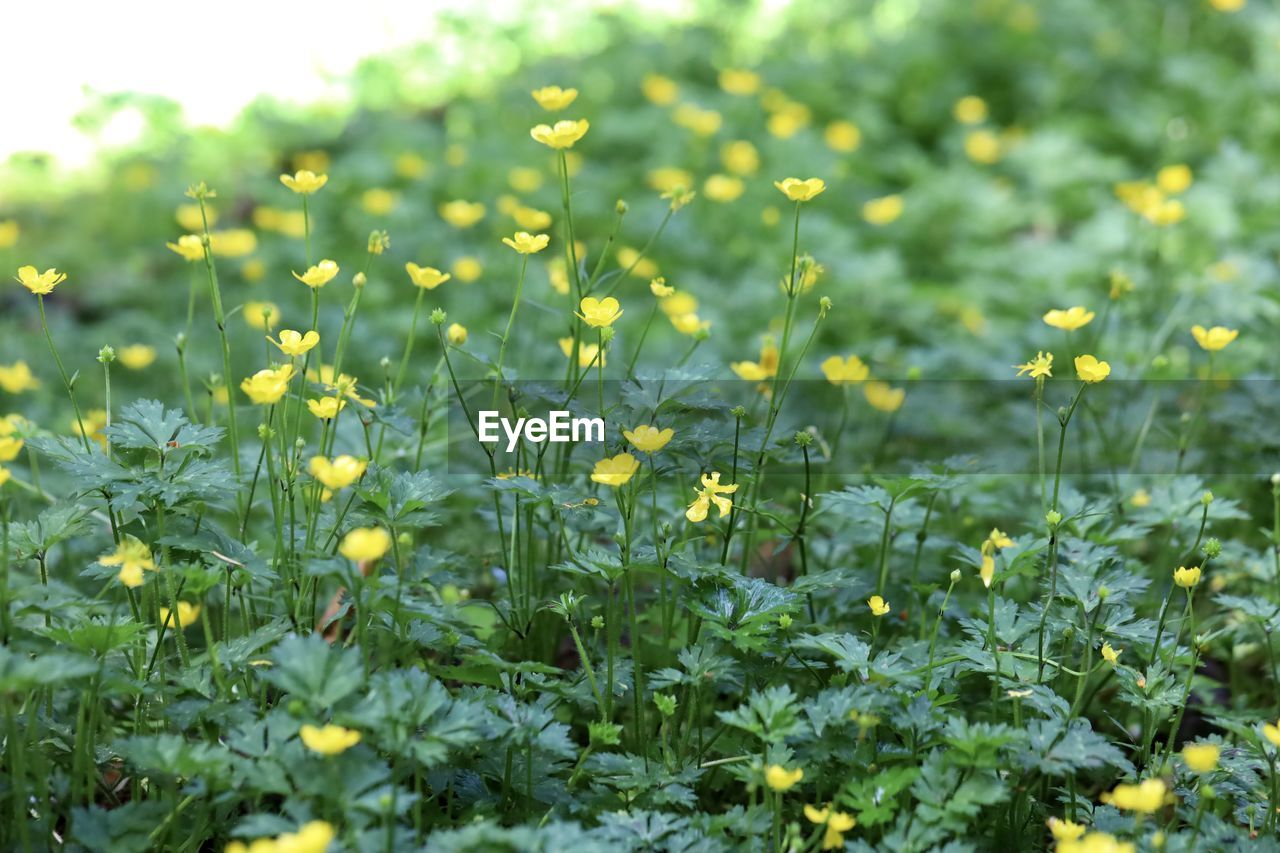 CLOSE-UP OF YELLOW FLOWERING PLANT GROWING ON FIELD