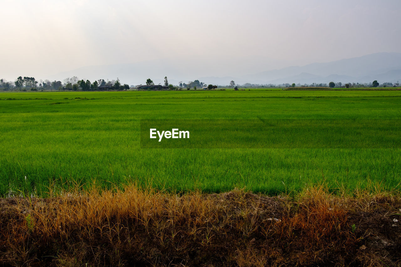 field, nature, landscape, tranquil scene, agriculture, grass, beauty in nature, tranquility, green color, growth, scenics, no people, outdoors, rural scene, day, sky, rice paddy, tree
