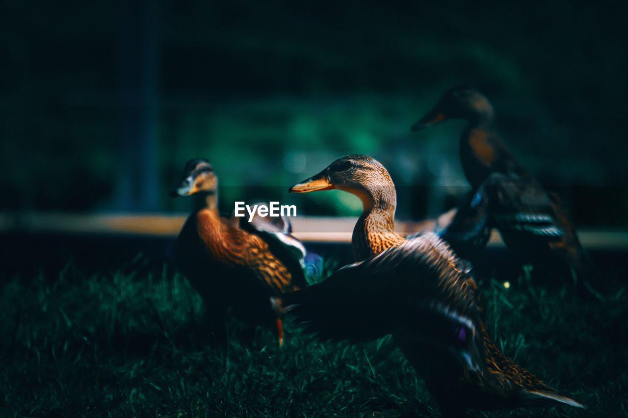 Mallard duck on field, loch ness, scotland