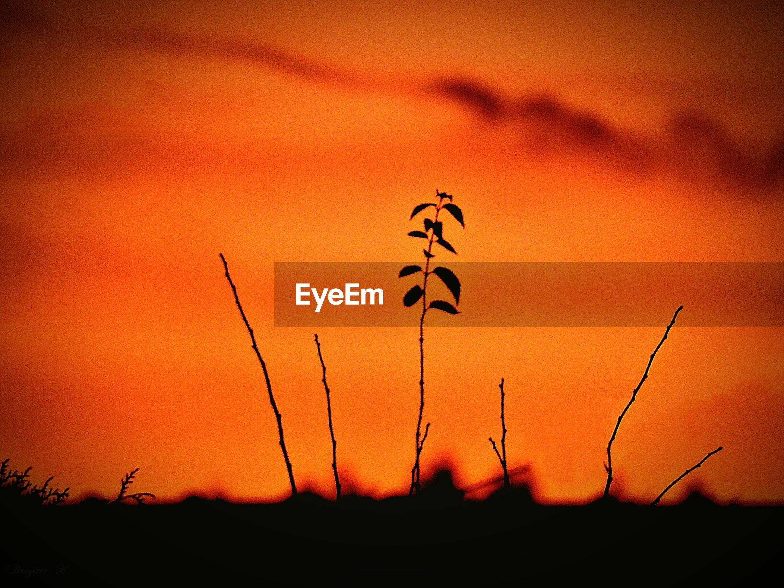 SILHOUETTE PLANT AGAINST ORANGE SKY