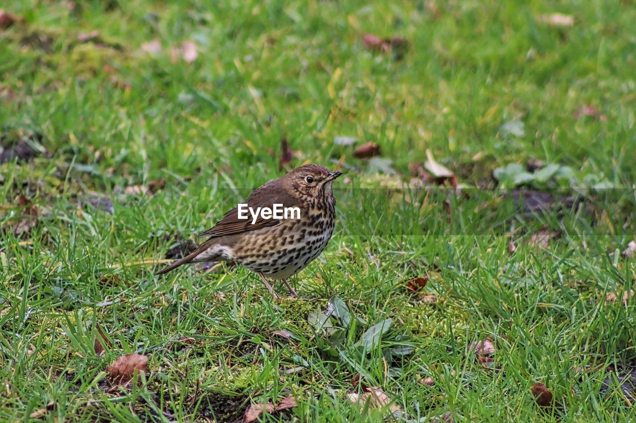 High angle view of thrush perching on grassy field
