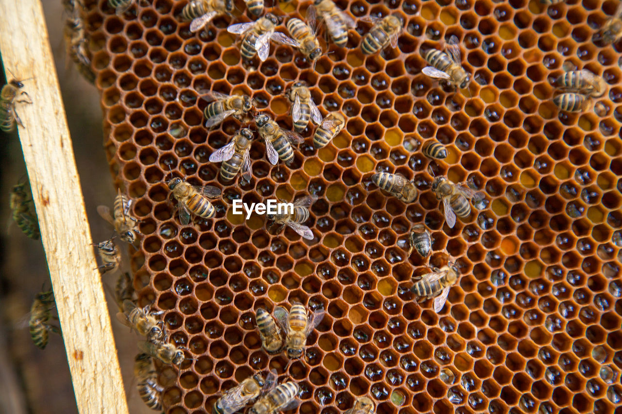 High angle view of bees on beeswax