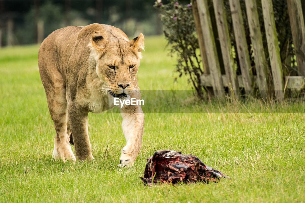 Lioness by dead animal on grassy field