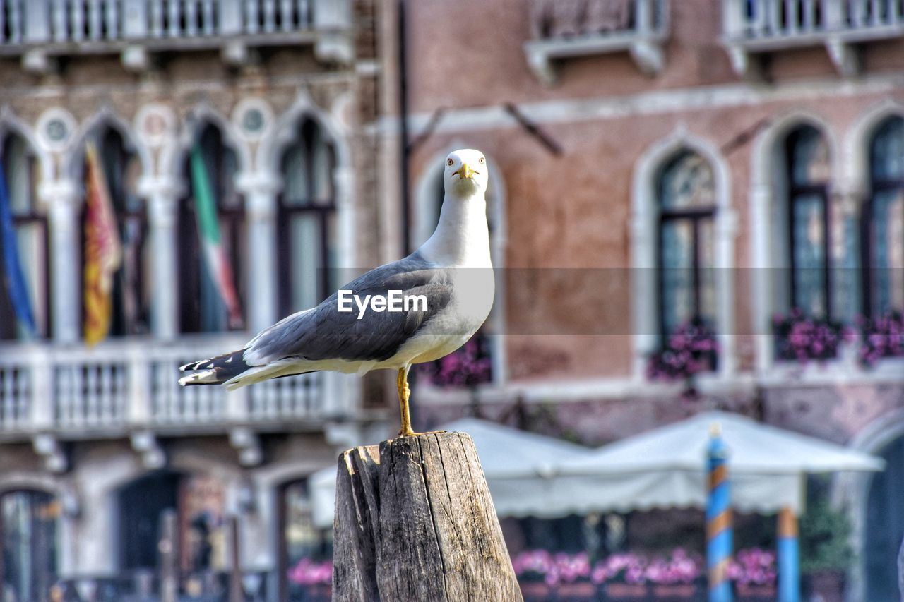 bird, vertebrate, animal themes, animal, animals in the wild, animal wildlife, perching, architecture, built structure, building exterior, focus on foreground, one animal, day, seagull, building, no people, outdoors, sea bird, wooden post