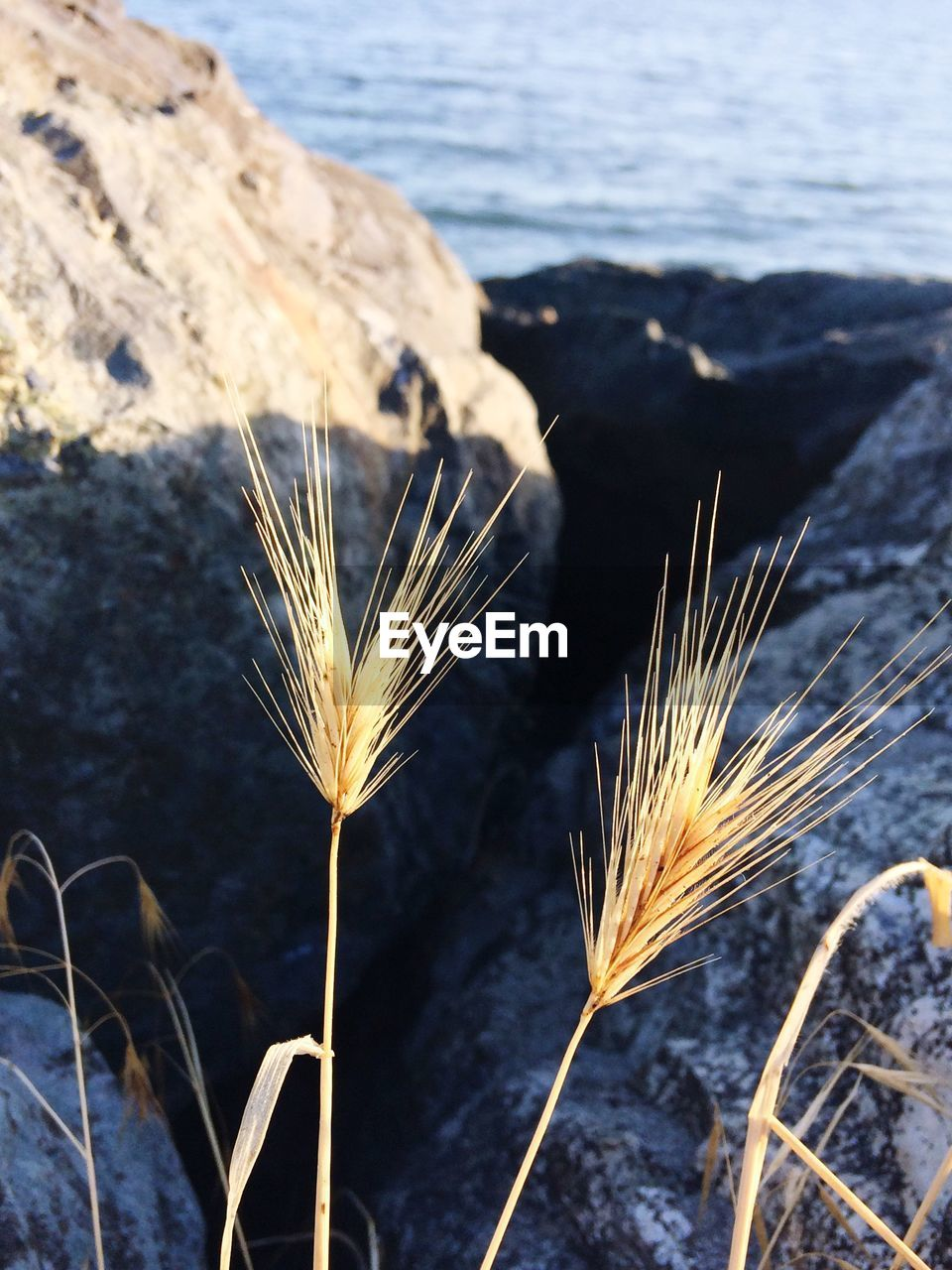 nature, tranquil scene, growth, cereal plant, plant, beauty in nature, wheat, no people, tranquility, close-up, outdoors, focus on foreground, scenics, agriculture, ear of wheat, day, rural scene, freshness, sky