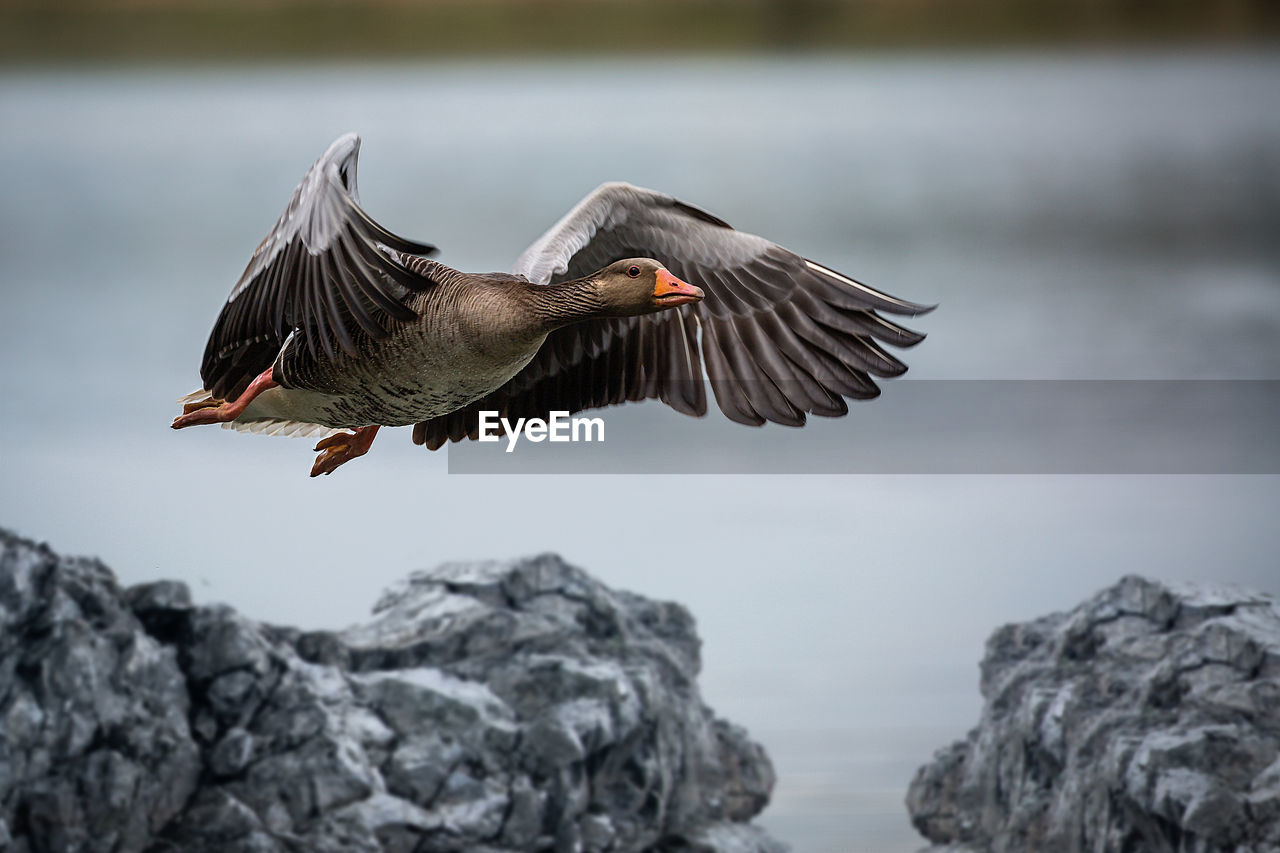 bird, animal, animal themes, animal wildlife, animals in the wild, vertebrate, spread wings, one animal, flying, focus on foreground, water, rock - object, solid, rock, mid-air, day, no people, nature, lake, outdoors, eagle