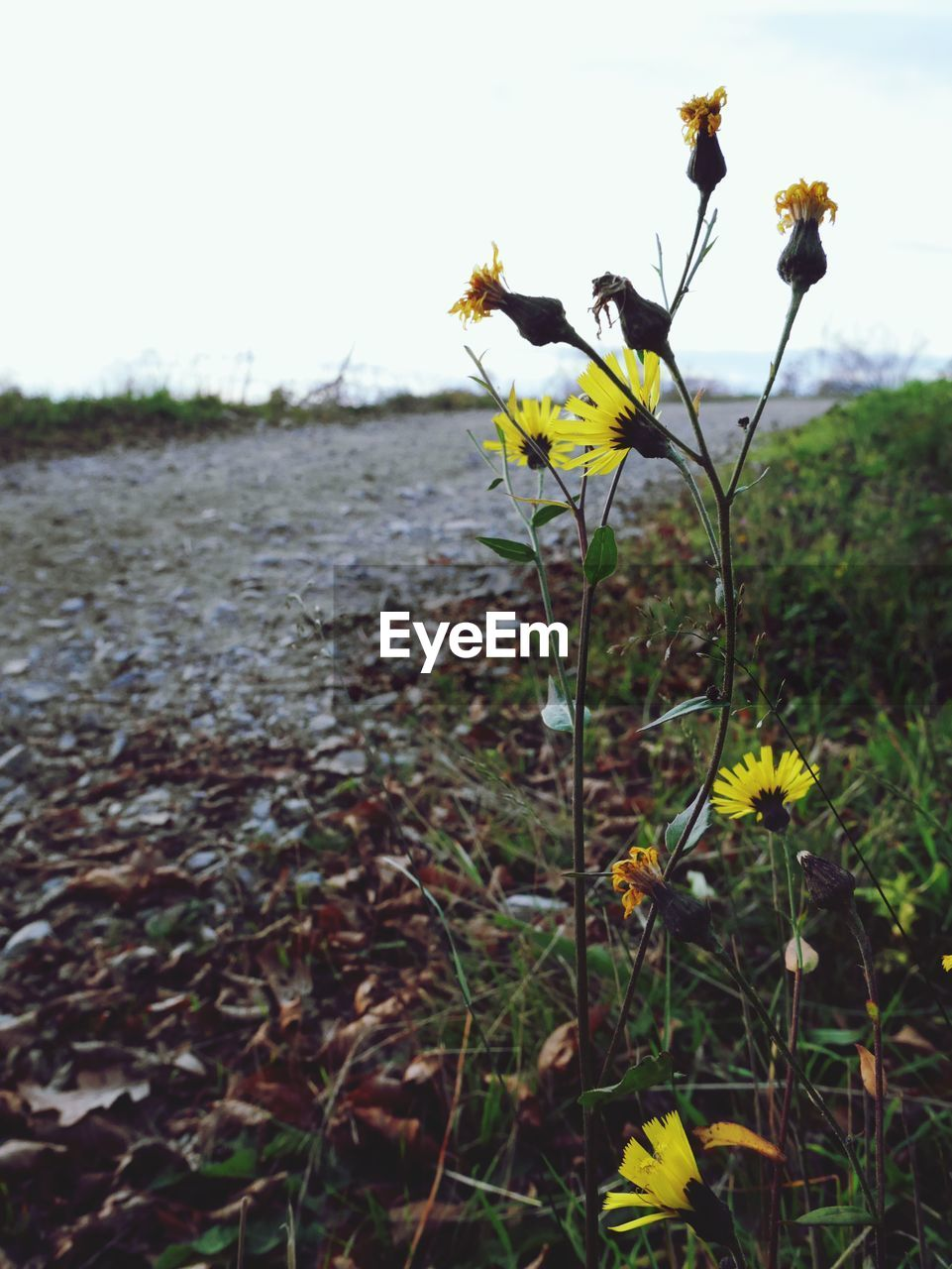 flower, nature, growth, fragility, plant, beauty in nature, outdoors, uncultivated, field, yellow, no people, petal, freshness, tranquility, flower head, day, close-up, blooming, sky, water