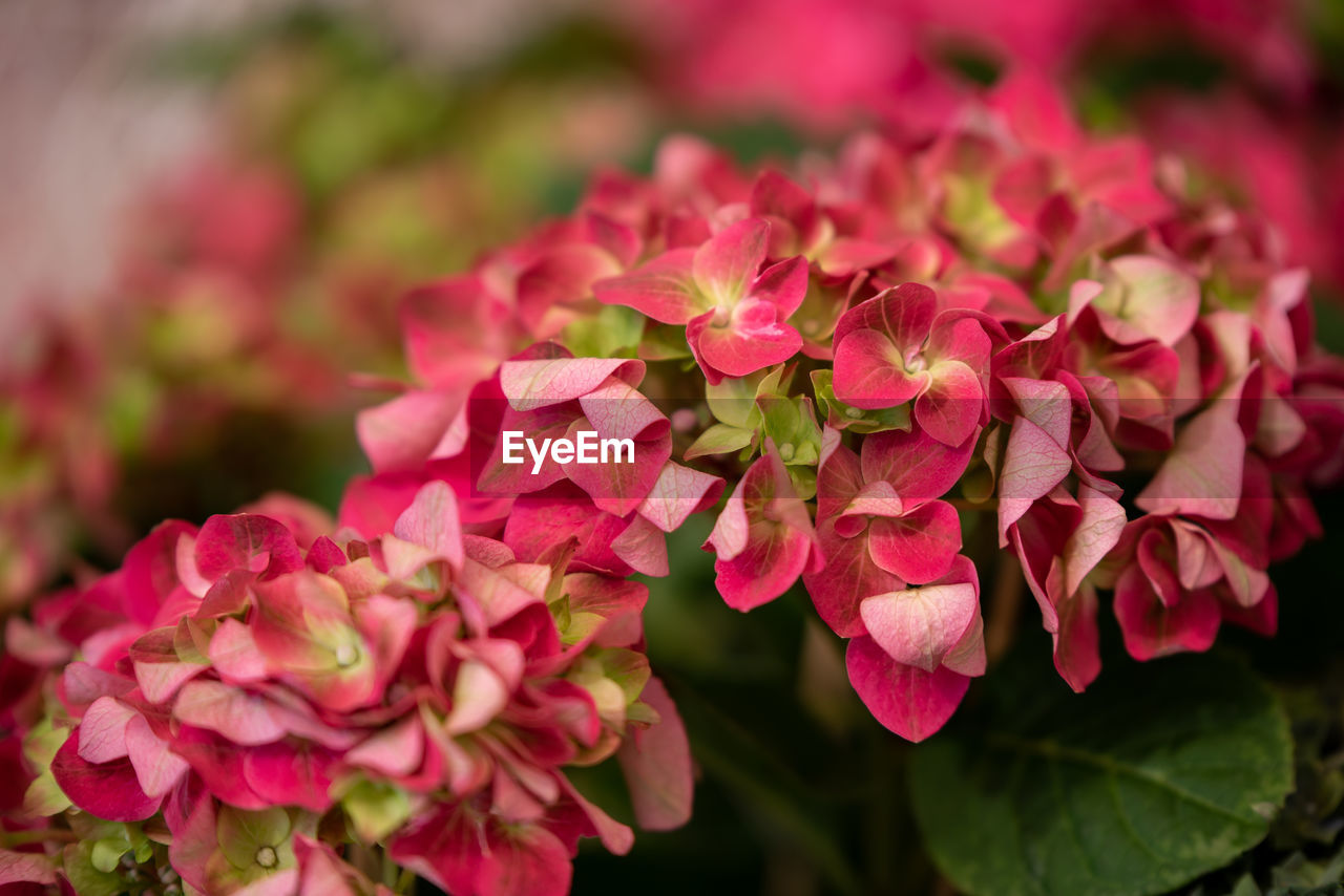 flowering plant, flower, beauty in nature, plant, petal, fragility, vulnerability, freshness, growth, pink color, close-up, flower head, inflorescence, nature, selective focus, day, focus on foreground, no people, outdoors, plant part, springtime, bunch of flowers, lilac