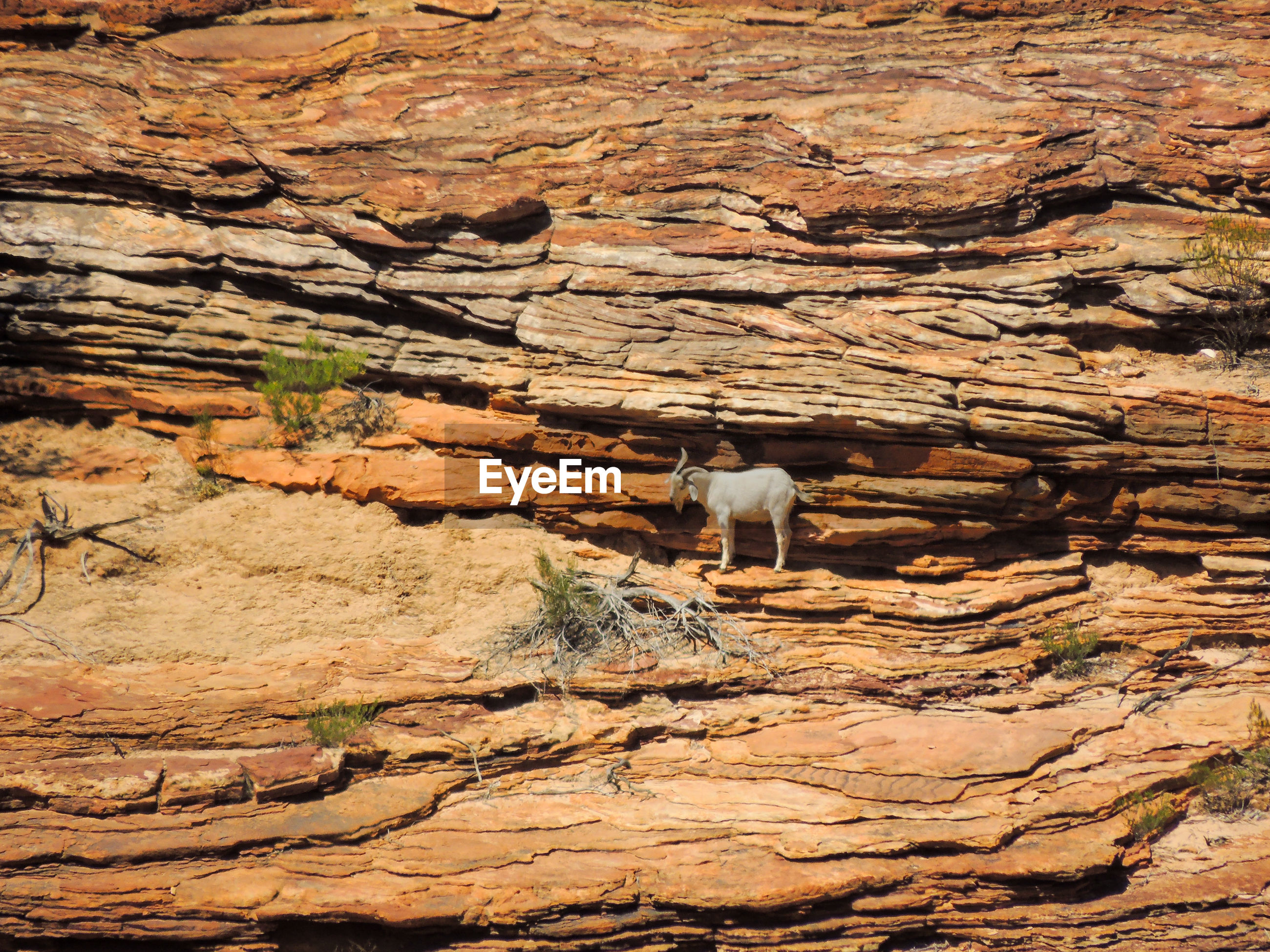 View of goat on rock
