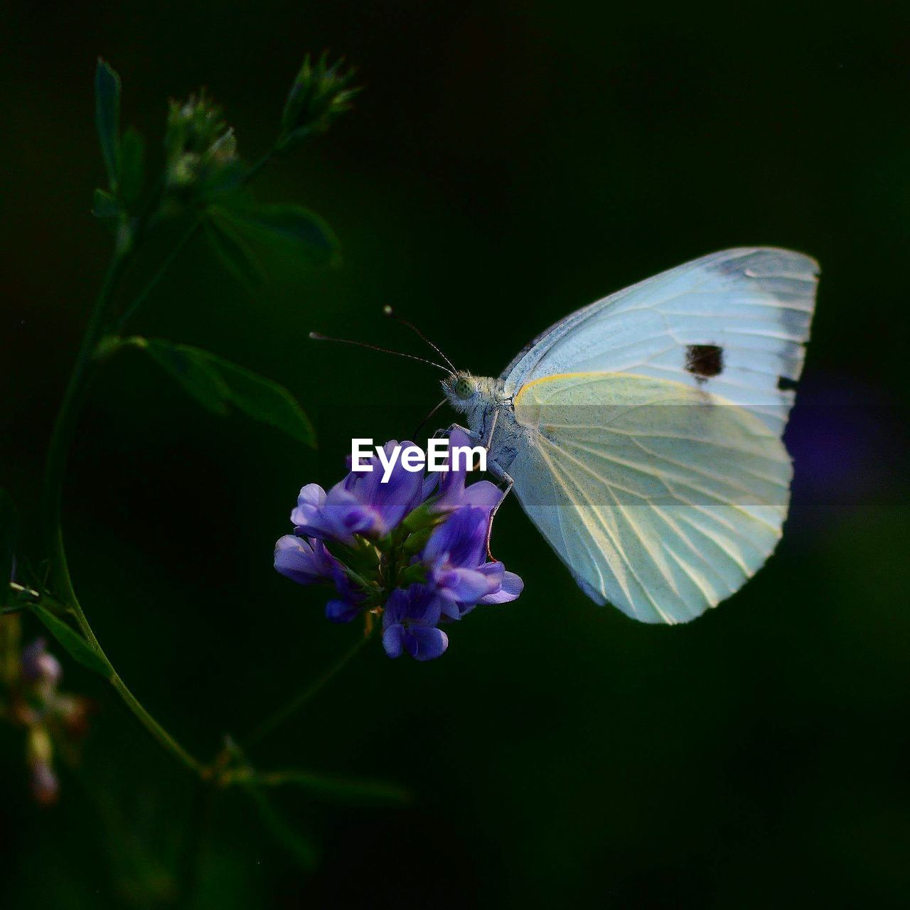 flower, flowering plant, beauty in nature, insect, plant, animal wing, fragility, invertebrate, animal themes, vulnerability, animal wildlife, one animal, animal, animals in the wild, freshness, petal, butterfly - insect, growth, flower head, nature, no people, purple, butterfly, pollination, outdoors