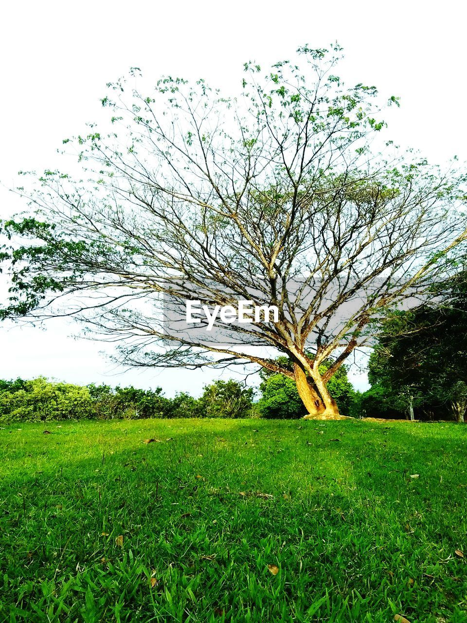 tree, plant, grass, sky, field, land, green color, beauty in nature, tranquility, growth, landscape, scenics - nature, environment, tranquil scene, nature, no people, day, non-urban scene, outdoors, branch, isolated