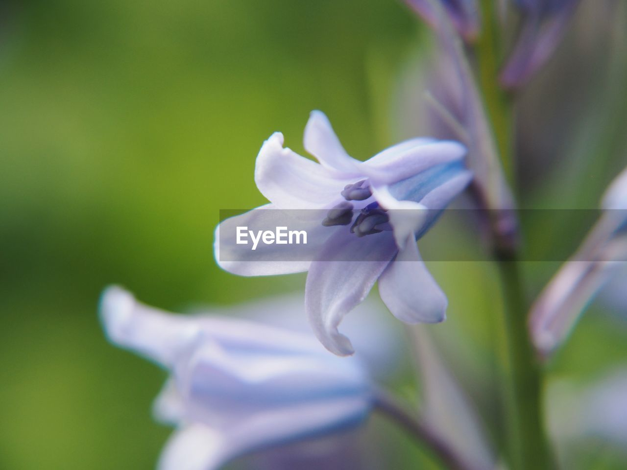 flowering plant, flower, fragility, vulnerability, plant, petal, beauty in nature, freshness, growth, flower head, close-up, inflorescence, selective focus, nature, day, white color, no people, focus on foreground, purple, outdoors, pollen