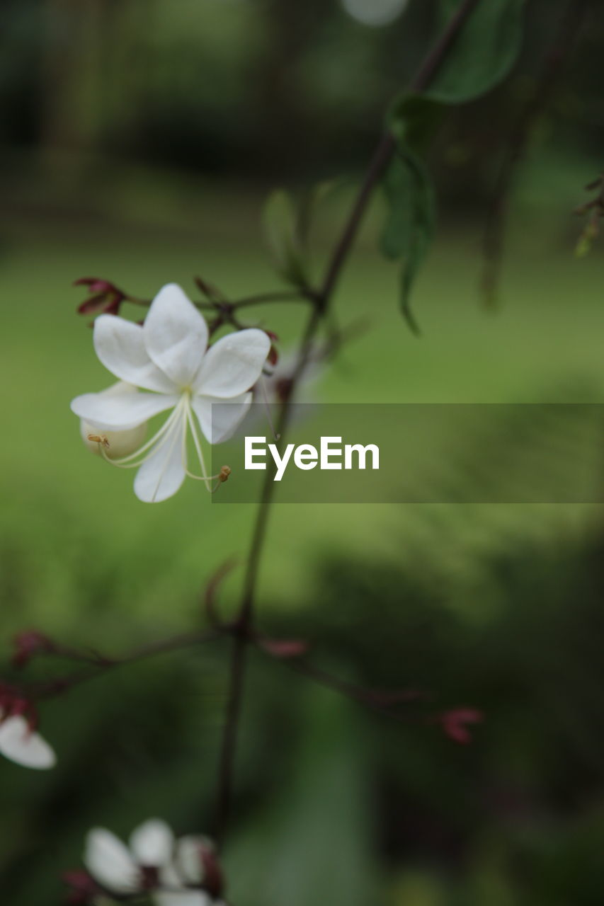 flower, fragility, petal, white color, nature, beauty in nature, growth, focus on foreground, freshness, flower head, day, outdoors, no people, blooming, close-up, plant, periwinkle